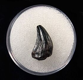 Quality Pachychephalosaurus incisor tooth for sale | Buried Treasure Fossils