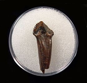 Large Pachychephalosaurus incisor tooth for sale | Buried Treasure Fossils