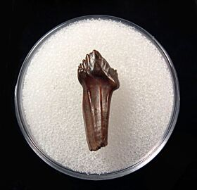 Quality Pachychephalosaurus maxillary tooth for sale | Buried Treasure Fossils