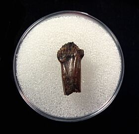 Rare rooted Pachychephalosaurus tooth for sale | Buried Treasure Fossil