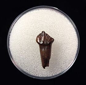 Nice rooted Pachy tooth for sale | Buried Treasure F