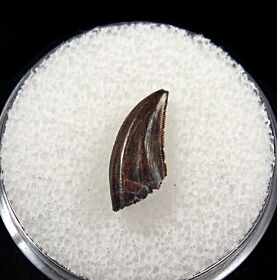Excellent Hell Creek raptor tooth for sale | Buried Treasure Fossils