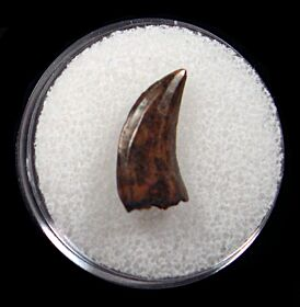Real raptor tooth for sale | Buried Treasure Fossils