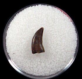 Real Hell Creek Dromaeosaurus tooth for sale | Buried Treasure Fossils
