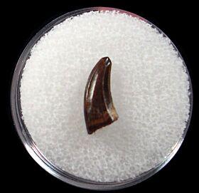 Quality Acheroraptor temertyorum tooth for sale | Buried Treasure Fossils
