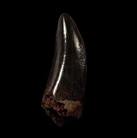Large T. rex tooth for sale  | Buried Treasure Fossils