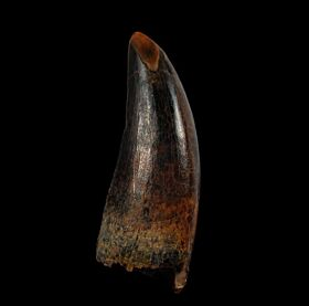 Large Judith River Tyrannosaurus tooth for sale | Buried Treasure Fossils