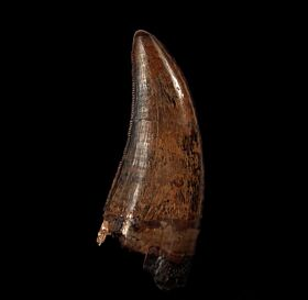 Daspletosaurus tooth for sale | Buried Treasure Fossils