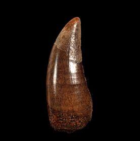 Albertosaurus tooth for sale | Buried Treasure Fossils