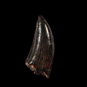 Large Albertosaurus tooth for sale | Buried Treasure Fossils