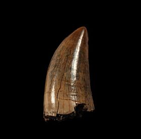 Colorful Daspletosaurus tooth for sale   Buried Treasure Fossils