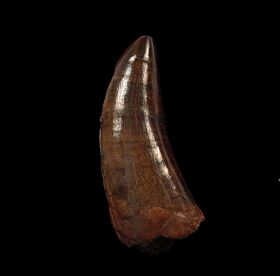 Large Daspletosaurus tooth for sale | Buried Treasure Fossils