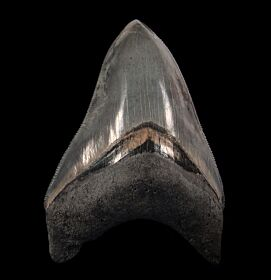 Top Quality Golden Beach Megalodon tooth for sale | Buried Treasure Fossils