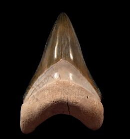 Bone Valley Megalodon tooth for sale | Buried Treasure Fossils