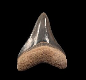 White Megalodon tooth for sale | Buried Treasure Fossils