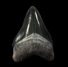 Black Bone Valley  Megalodon tooth for sale | Buried Treasure Fossils