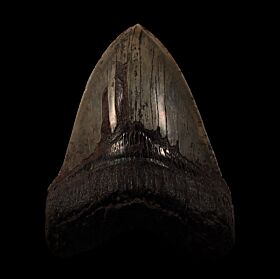 Peace River Megalodon tooth for sale | Buried Treasure Fossils
