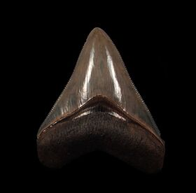 Top quality Horse Creek Megalodon tooth for sale | Buried Treasure Fossils
