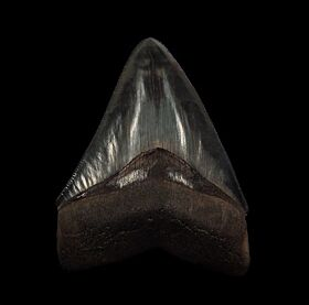 Black Horse Creek Megalodon tooth for sale | Buried Treasure Fossils