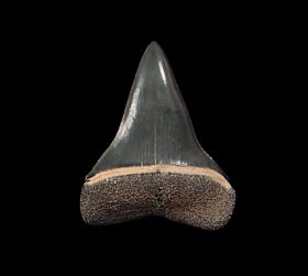 Florida Mako tooth for sale | Buried Treasure Fossils