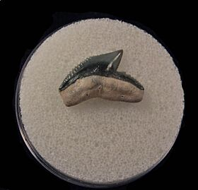 Colorful Florida Galeocerdo cuvier tooth for sale   Buried Treasure Fossils