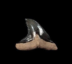 Florida Hemipristis shark tooth for sale | Buried Treasure Fossils
