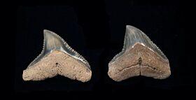Carcharhinus leucus