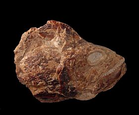 Aigialosaur jaw for sale | Buried Treasure Fossils