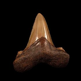 Large Florida Auriculatus tooth for sale | Buried Treasure Fossils