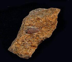 Acrodus lateralis