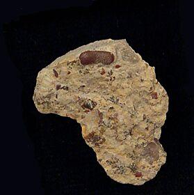 Paleobates angustissimus (Triassic)