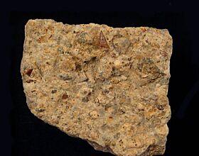 Saurichthys apicalis        (Triassic)