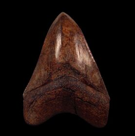 Top Quality Georgia Megalodon tooth for sale | Buried Treasure Fossils