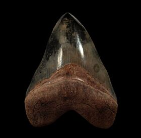 Perfect Georgia Megalodon tooth for sale | Buried Treasure Fossils