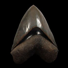 Georgia Megalodon tooth for sale | Buried Treasure Fossils