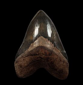 Red Georgia Megalodon tooth for sale | Buried Treasure Fossils