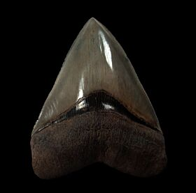 Quality Georgia Megalodon tooth for sale | Buried Treasure Fossils