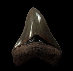 Colorful Georgia Megalodon tooth for sale | Buried Treasure Fossils