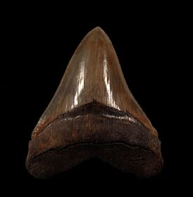 Killer Georgia Megalodon teeth for sale | Buried Treasure Fossils