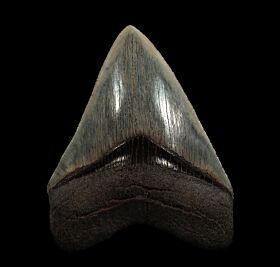 Killer Georgia Megalodon teeth for sale | Buried Treasure Fossils