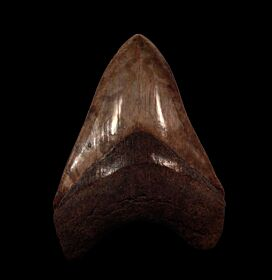 Real Georgia Megalodon tooth for sale | Buried Treasure Fossils