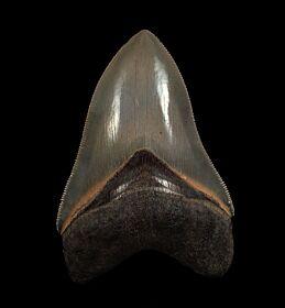 Rare Georgia Megalodon tooth for sale | Buried Treasure Fossils