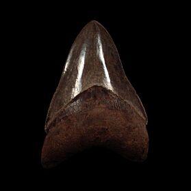Georgia Otodus megalodon tooth for sale | Buried Treasure Fossils