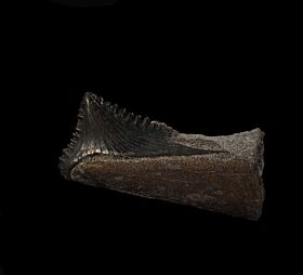 Rare Edestus heinrichi tooth for sale | Buried Treasure Fossils