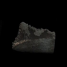 Paleozoic Edestus tooth for sale | Buried Treasure Fossils