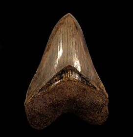 Large Indonesian Megalodon tooth for sale | Buried Treasure Fossils