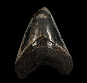 Large West Java Megalodon tooth for sale | Buried Treasure Fossils