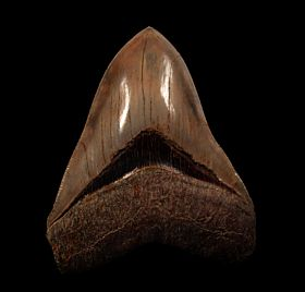 Rare  Indonesian Megalodon tooth for sale | Buried Treasure Fossils