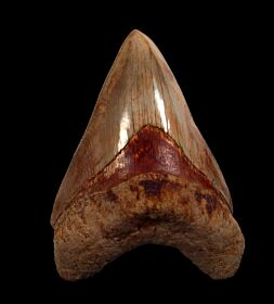 Colorful West Java  Otodus  megalodon tooth for sale | Buried Treasure Fossils