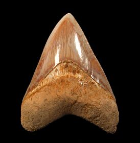Rare West Java Megalodon tooth for sale | Buried Treasure Fossils